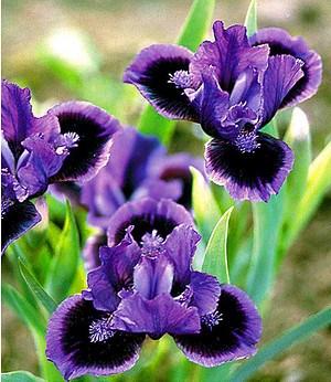 """Iris """"Smart"""",3 Knollen"""