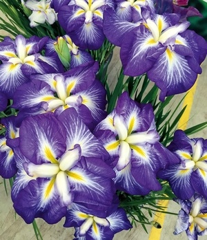 "Japanische Iris ""Persephone"",1 Knolle"