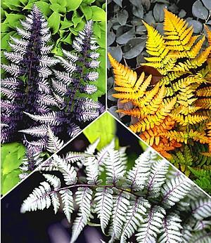 Japanische Schmuck-Farn-Kollektion,3 Pflanzen