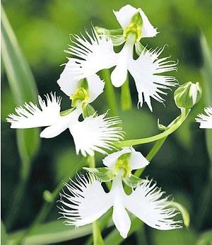 """Japanische Weiße Vogelblume """"Habenaria Radiata"""",2 Stück Orchidee"""