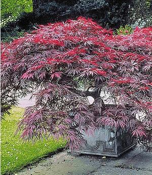 """Japanischer Ahorn """"Burgund"""",1 Pflanze"""