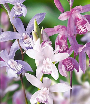 Japanorchidee Bletilla Mix 3 Stück Gartenorchideen