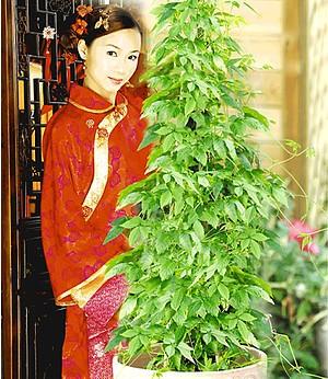Jiaogulan,3 Pflanzen