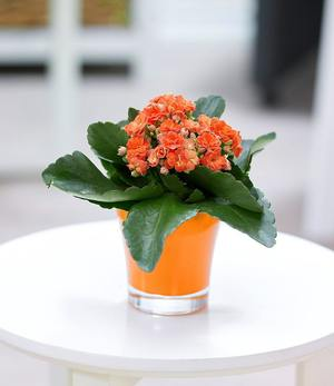 Kalanchoe orange + Teelicht Übertopf orange,1 Set