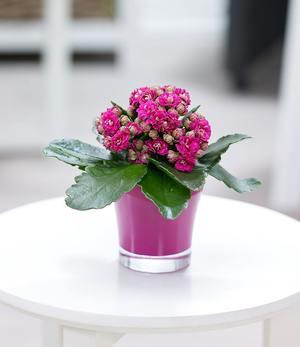 Kalanchoe rosa + Teelicht Übertopf pink,1 Set