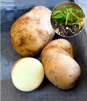 "Kartoffel-Pflanze ""Sarpo Una"",3 Jungpflanzen"