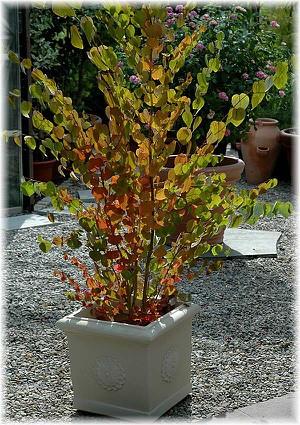 Katsurabaum, Kuchenbaum Cercidiphyllum japonicum