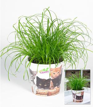 Katzengras,1 Pflanze