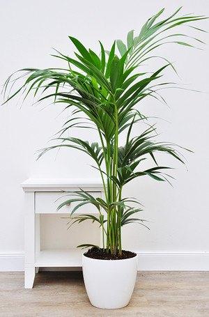 flaschen palme hyophorbe lagenicaulis g nstig online kaufen mein sch ner garten shop. Black Bedroom Furniture Sets. Home Design Ideas