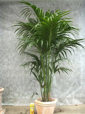 petticoat palme mexikanische f cher palme washingtonia robusta g nstig online kaufen mein. Black Bedroom Furniture Sets. Home Design Ideas
