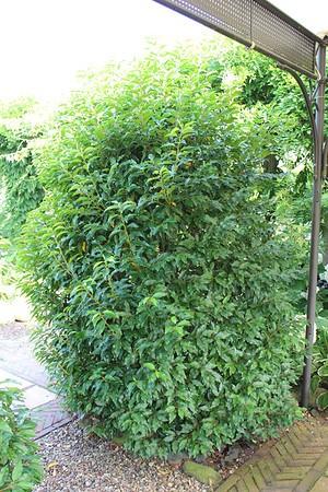 Kirschlorbeer, PortugisischerKirschlorbeer 'Angustifolia'