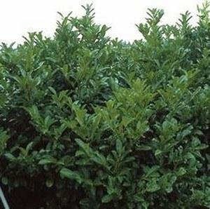 Kirschlorbeer 'Rotundifolia'