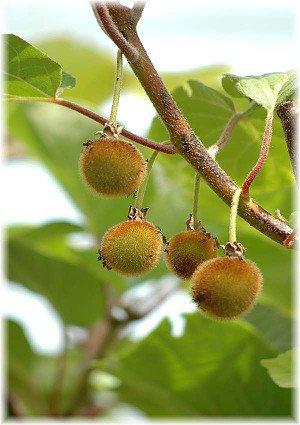 Kiwi, männlich Actinida ´Tomuri`