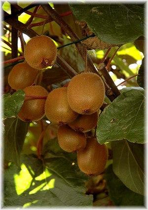 Kiwi (selbstfruchtend) Actinida ´Jenny`