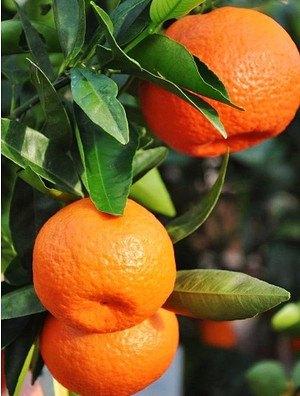 Klementinenbaum - Citrus clementine