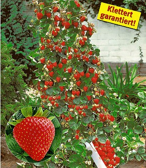 "Kletter-Erdbeere ""Hummi®"",3 Pflanzen"