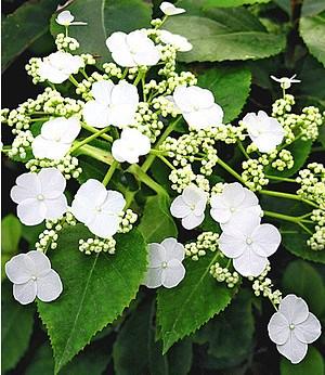 """Kletter-Hortensie """"Semiola®"""",1 Pflanze"""