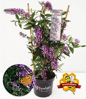 """Kletternde Buddleia """"Schmetterlingswand®"""",1 Pflanze Sommerflieder"""