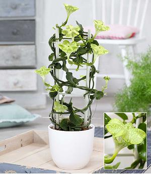 Kletternde Leuchterblume,1 Pflanze