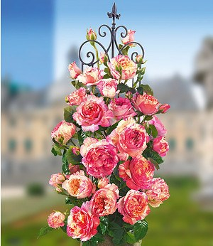 "Kletternde Maler-Rose® ""ClaudeMonet®"",1 Pflanze"