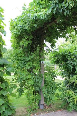 Kletterpflanze Baumwürger'Diana'