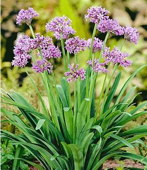 Knobi-Kraut,3 Pflanzen gegen Maulwürfe & Wühlmäuse Kaplilie