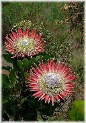 Königs-Protea Protea cynaroides ´Little Prince`