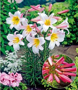 Königslilie,3 Stück