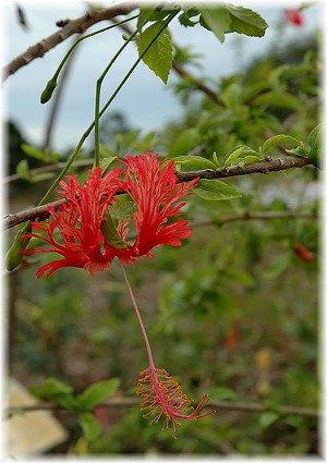 Korallenhibiskus Hibiscus schizopetalus