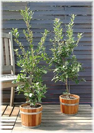Kork-Eiche Quercus suber