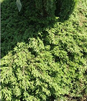 """Kriech-Wacholder """"Green Carpet"""",1 Pflanze"""