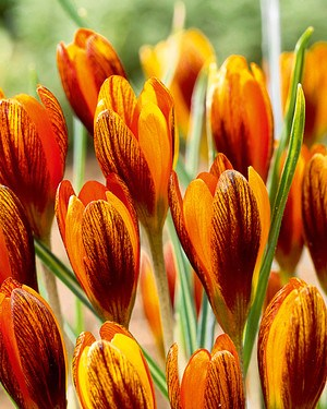 Krokus 'Orange Monarch'