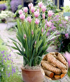 """Kurkuma-Pflanze """"Curcuma longa"""",1 Pflanze"""