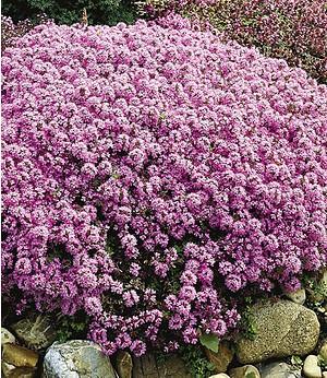 Langhaariger Gebirgs-Thymian,3 Pflanzen