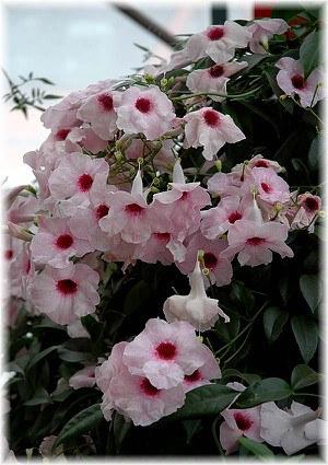 Laubenwein Pandorea jasminoides