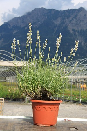 Lavandula angustifolia 'Blue Mountain White'