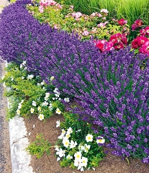"Lavendel ""Blue Jeans"",3 Pflanzen"