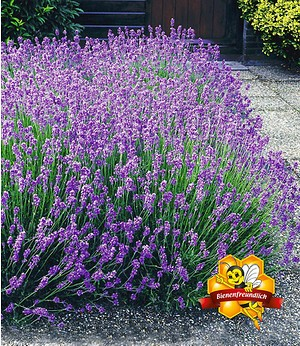 "Lavendel-Hecke ""Blau"",9 Pflanzen"