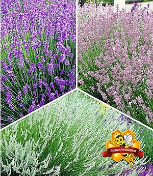 Lavendel-Kollektion,9 Pflanzen