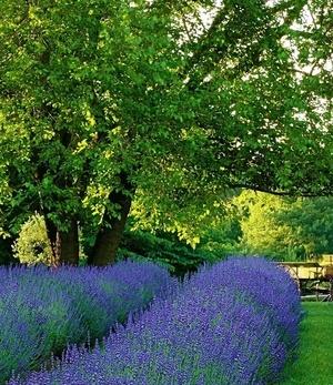 """Lavendel """"Phenomenal®"""" im 2-Liter Container,1 Pflanze"""