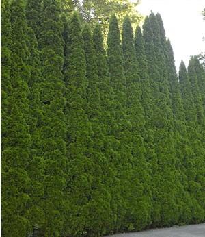 """Lebensbaum-Hecke """"Smaragd"""" 40-60cm hoch,1 Pflanze"""