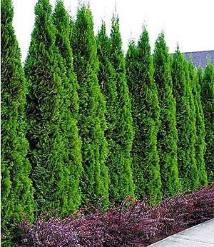 """Lebensbaum-Hecke """"Thuja Smaragd"""",1 Pflanze"""