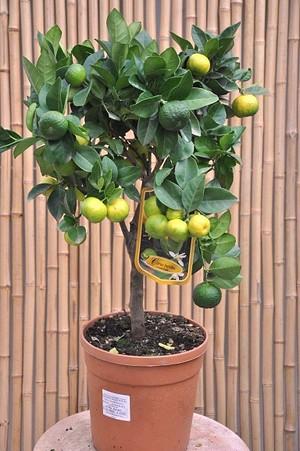 Limettenbaum (Römische Limette) Angebot - Citrus limetta Pursha
