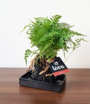 """Lova Farn """"Davallia"""",1 Pflanze"""