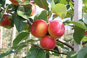 Lubera Apfel Paradis® Der verbotene Apfel