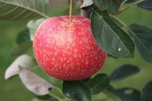 Lubera Apfel Paradis® Katka®