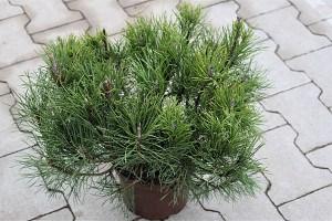 Lubera Bergkiefer Pinus mugo