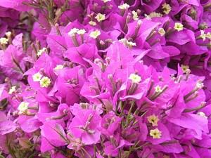 Lubera Bougainvillea Kegelform, Mediterrane Kübelpflanze im 10l-Topf
