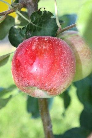 Lubera Bundle 'Delikatessapfelsortenmit folgender Ernte'