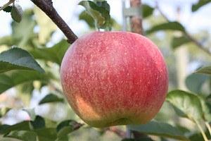 Lubera Easytree: Apfel Paradis® Sparkling®
